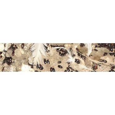 Tenebrio de las granjas avícolas (Alphitobius)