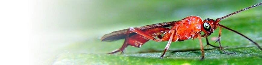 Dacnusa sibirica