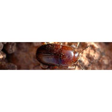 Escarabajo de la trufa