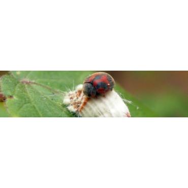 Rodolia cardinalis