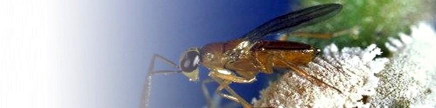 Leptomastix algirica