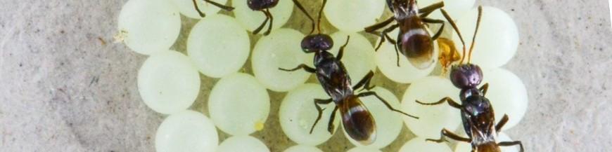 Anastatus bifasciatus