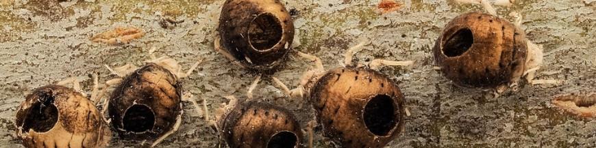 Mix de parasitoides de pulgón