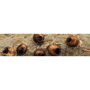 Mix parasitoides de pulgón