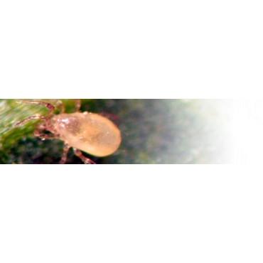 Amblyseius andersoni