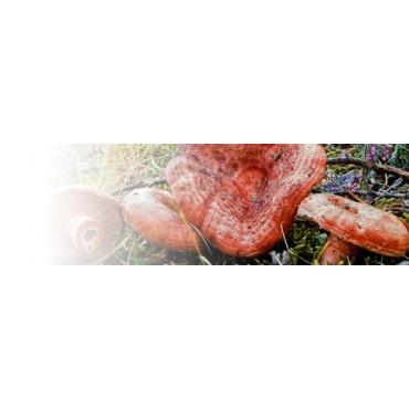PINO NISCALERO micorrizado con Lactarius deliciosus