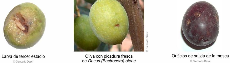 daños producidos por la mosca del olivo