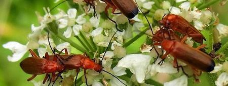 semillas que atraen insectos beneficiosos